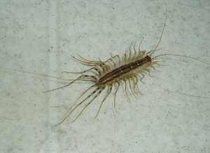 House_centipede_2
